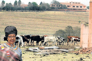 AUGUST 1, 2014:  The condition of some of  Nelson  Mandela's cattle kept at his Qunu farm has been describbed as  not  satisfactory. . Pcture:LULAMILE FENI